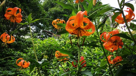 Photograph of lilies by Ray Hemachandra
