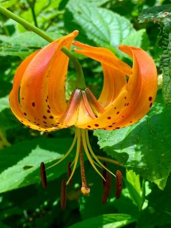 Lily photo by Ray Hemachandra